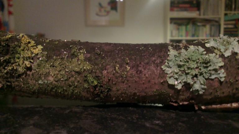 Lichen covered stick