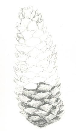 Sketch of fir cone